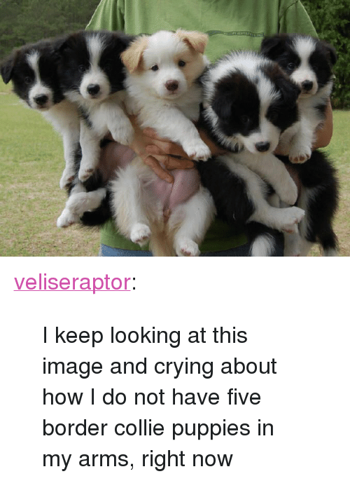 "Border Collie: <p><a href=""http://veliseraptor.tumblr.com/post/160737914790/i-keep-looking-at-this-image-and-crying-about-how"" class=""tumblr_blog"">veliseraptor</a>:</p><blockquote><p>I keep looking at this image and crying about how I do not have five border collie puppies in my arms, right now</p></blockquote>"