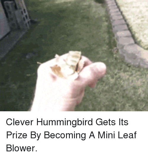 Hummingbird: <p>Clever Hummingbird Gets Its Prize By Becoming A Mini Leaf Blower.</p>