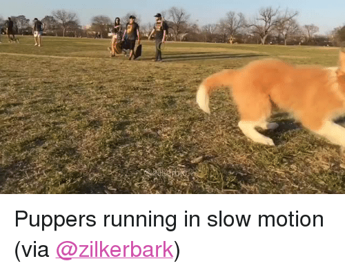 "Slow Motion: <p>Puppers running in slow motion<br/></p><p>(via <a href=""https://twitter.com/zilkerbark/status/710257212900311040"" target=""_blank"">@zilkerbark</a>)</p>"