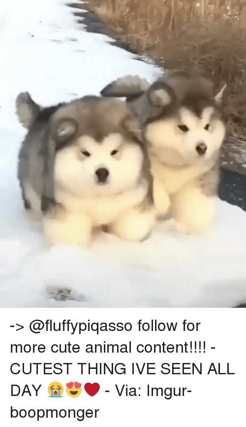 Cute, Memes, and Animal: -> @fluffypiqasso follow for more cute animal content!!!! - CUTEST THING IVE SEEN ALL DAY 😭😍❤️ - Via: Imgur-boopmonger