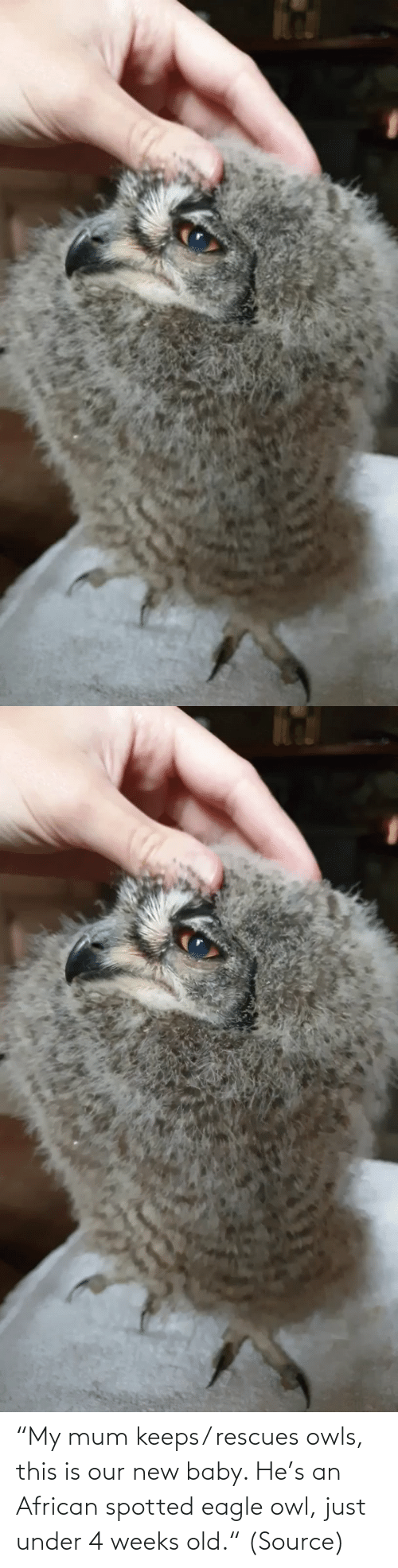 "Old: ""My mum keeps/ rescues owls, this is our new baby. He's an African spotted eagle owl, just under 4 weeks old."" (Source)"