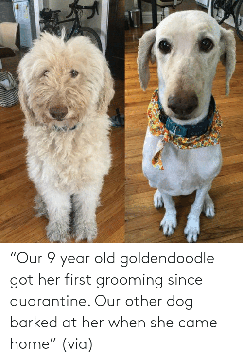 "Home: ""Our 9 year old goldendoodle got her first grooming since quarantine. Our other dog barked at her when she came home"" (via)"