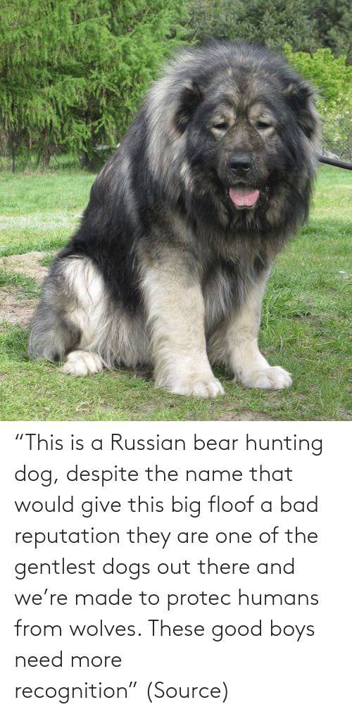 "Bear: ""This is a Russian bear hunting dog, despite the name that would give this big floof a bad reputation they are one of the gentlest dogs out there and we're made to protec humans from wolves. These good boys need more recognition"" (Source)"