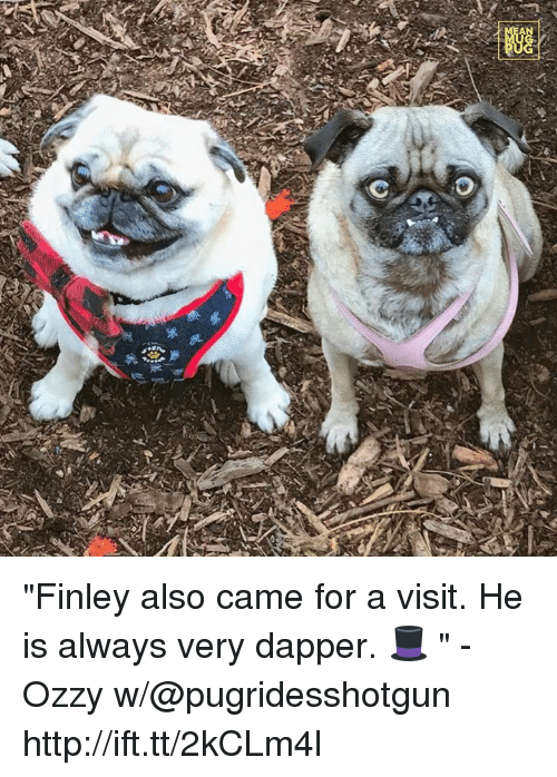 """Memes, 🤖, and Ozzy: 券  踟  A """"Finley also came for a visit. He is always very dapper. 🎩 """" -Ozzy w/@pugridesshotgun http://ift.tt/2kCLm4l"""