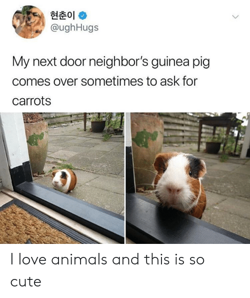 I Love Animals: 현춘01 *  @ughHugs  My next door neighbor's guinea pig  comes over sometimes to ask for  carrots I love animals and this is so cute