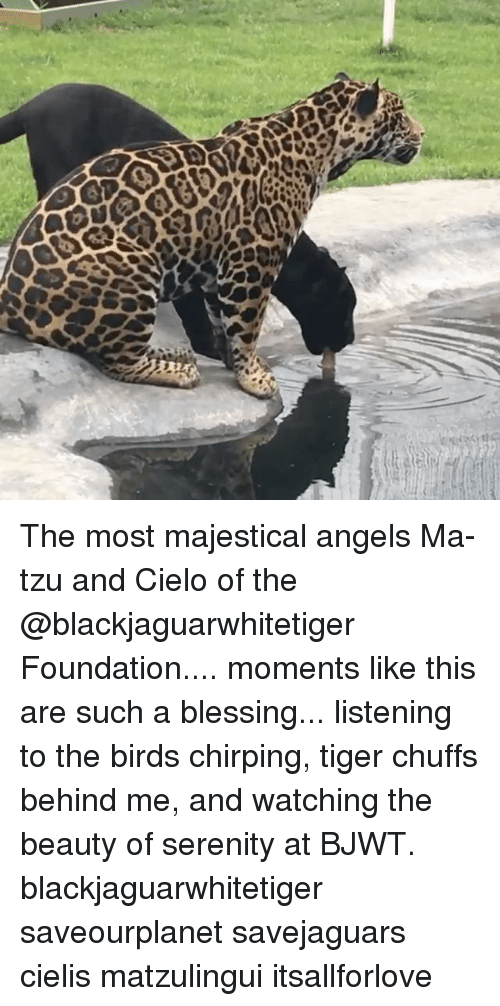 Majesticity: 0  O The most majestical angels Ma-tzu and Cielo of the @blackjaguarwhitetiger Foundation.... moments like this are such a blessing... listening to the birds chirping, tiger chuffs behind me, and watching the beauty of serenity at BJWT. blackjaguarwhitetiger saveourplanet savejaguars cielis matzulingui itsallforlove