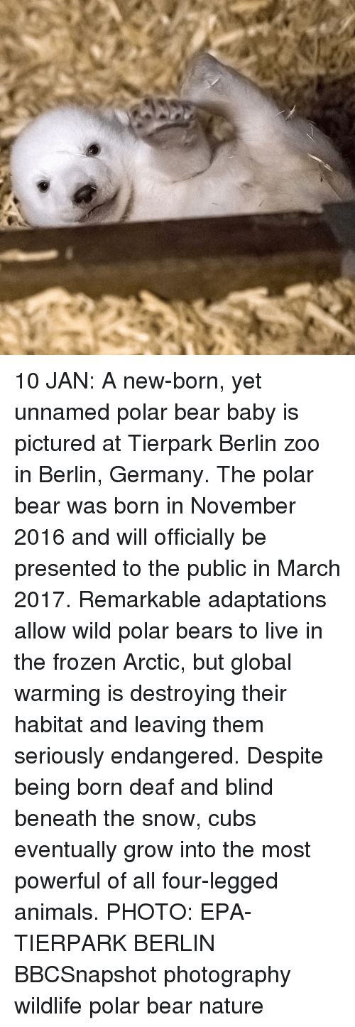 animated photos: 10 JAN: A new-born, yet unnamed polar bear baby is pictured at Tierpark Berlin zoo in Berlin, Germany. The polar bear was born in November 2016 and will officially be presented to the public in March 2017. Remarkable adaptations allow wild polar bears to live in the frozen Arctic, but global warming is destroying their habitat and leaving them seriously endangered. Despite being born deaf and blind beneath the snow, cubs eventually grow into the most powerful of all four-legged animals. PHOTO: EPA-TIERPARK BERLIN BBCSnapshot photography wildlife polar bear nature