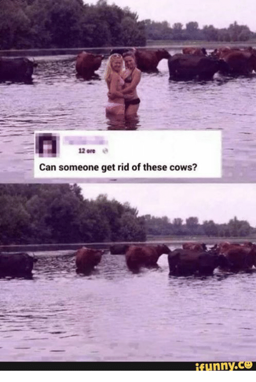 Cow Funny
