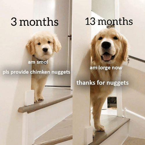 Dogs, Now, and Pls: 13 months  3 months  am smol  pls provide chimken nuggets  am lorge now  thanks for nuggets