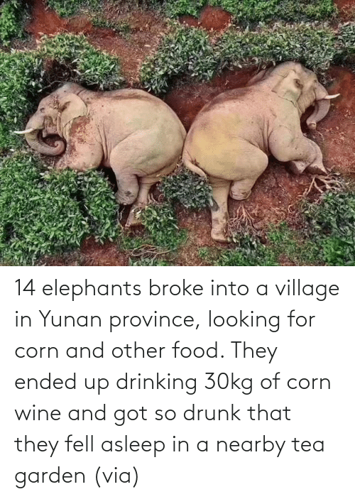 village: 14 elephants broke into a village in Yunan province, looking for corn and other food. They ended up drinking 30kg of corn wine and got so drunk that they fell asleep in a nearby tea garden (via)