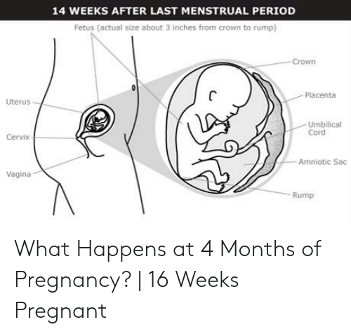 14 WEEKS AFTER LAST MENSTRUAL PERIOD Fetus Actual Size About