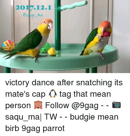 9gag, Memes, and Mean: 2017.12.I  's au ma victory dance after snatching its mate's cap 🐧 tag that mean person 🙈 Follow @9gag - - 📷saqu_ma  TW - - budgie mean birb 9gag parrot