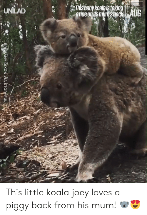 Dank, Baby, and Back: 2019  This baby koala istaking  aride on its mum's back| AUG  UNILAD  BRITTANY DIXON VIA STORYFUL This little koala joey loves a piggy back from his mum! 🐨😍