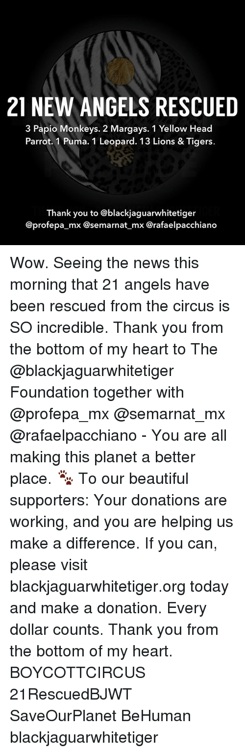 Beautiful, Head, and Memes: 21 NEW ANGELS RESCUED  3 Papio Monkeys. 2 Margays. 1 Yellow Head  Parrot. 1 Puma. 1 Leopard. 13 Lions & Tigers.  Thank you to @blackjaguarwhitetiger  @profepa_mx @semarnat mx Crafaelpacchiano Wow. Seeing the news this morning that 21 angels have been rescued from the circus is SO incredible. Thank you from the bottom of my heart to The @blackjaguarwhitetiger Foundation together with @profepa_mx @semarnat_mx @rafaelpacchiano - You are all making this planet a better place. 🐾 To our beautiful supporters: Your donations are working, and you are helping us make a difference. If you can, please visit blackjaguarwhitetiger.org today and make a donation. Every dollar counts. Thank you from the bottom of my heart. BOYCOTTCIRCUS 21RescuedBJWT SaveOurPlanet BeHuman blackjaguarwhitetiger