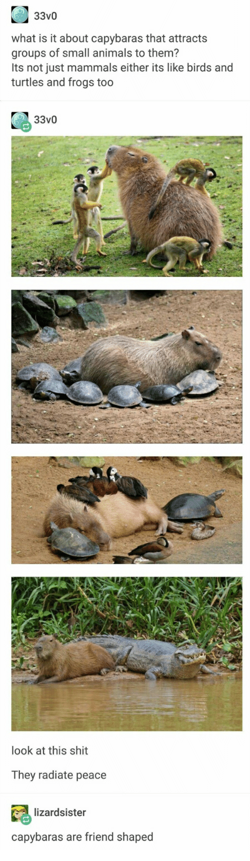Animals, Shit, and Birds: 33v0  what is it about capybaras that attracts  groups of small animals to them?  Its not just mammals either its like birds and  turtles and frogs too  33v0  look at this shit  They radiate peace  lizardsister  capybaras are friend shaped