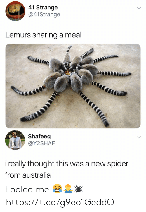 Spider, Australia, and Thought: 41 Strange  @41Strange  Lemurs sharing a meal  Shafeeq  @Y2SHAF  i really thought this was a new spider  from australia  tfife Fooled me 😂🤷‍♂️🕷 https://t.co/g9eo1GeddO