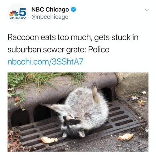 Chicago, Police, and Too Much: 5  NBC Chicago  CHIGAGO@nbcchicago  Raccoon eats too much, gets stuck in  suburban sewer grate: Police  nbcchi.com/3SShtA7