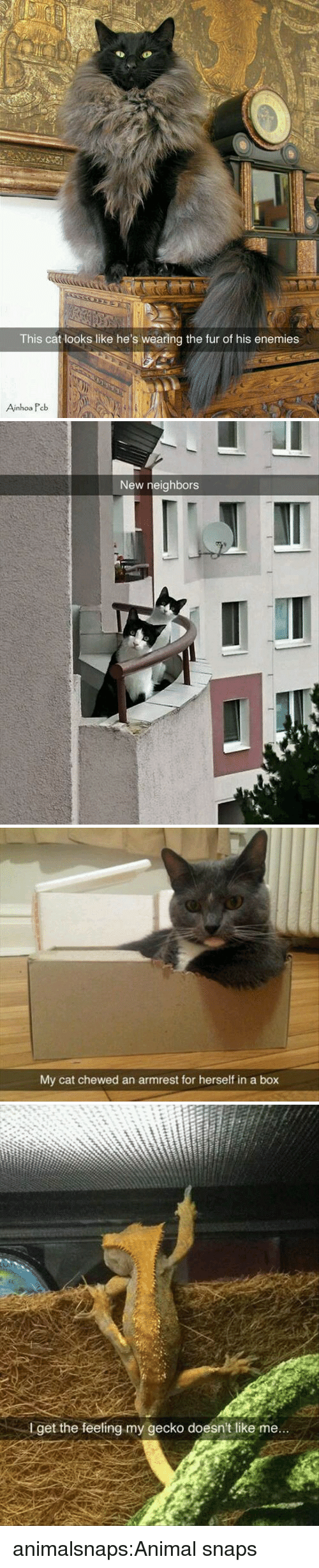 Tumblr, Animal, and Blog: 6%  This cat looks like he's wearing the fur of his enemies  Ainhoa Peb   New neighbors   My cat chewed an armrest for herself in a box   I get the feeling my gecko doesn't like me... animalsnaps:Animal snaps