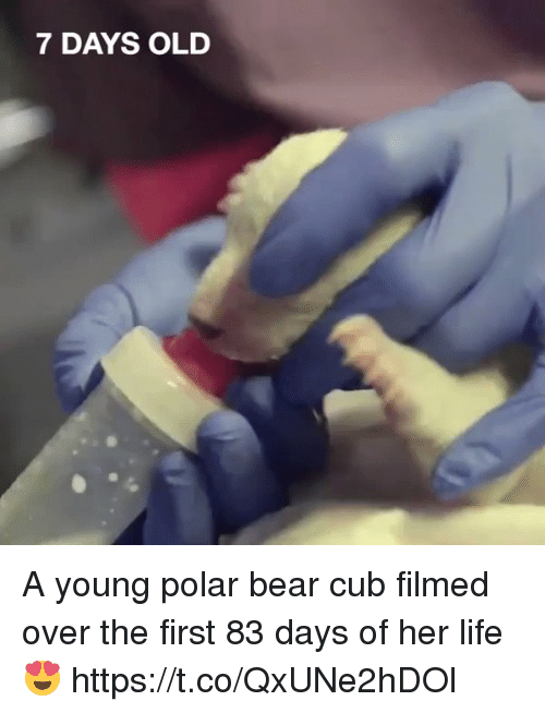 polarized: 7 DAYS OLD A young polar bear cub filmed over the first 83 days of her life 😍 https://t.co/QxUNe2hDOl
