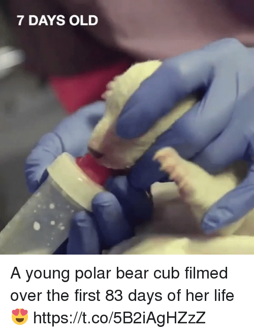 polarized: 7 DAYS OLD A young polar bear cub filmed over the first 83 days of her life 😍 https://t.co/5B2iAgHZzZ