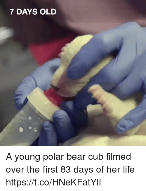 bearings: 7 DAYS OLD A young polar bear cub filmed over the first 83 days of her life  https://t.co/HNeKFatYlI