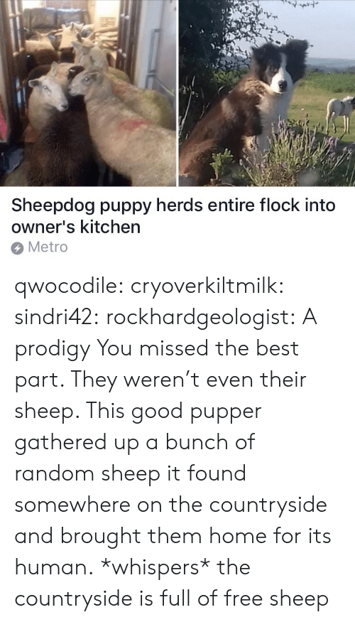 Gathered: 7  Sheepdog puppy herds entire flock into  owner's kitchen  Metro qwocodile:  cryoverkiltmilk:  sindri42:  rockhardgeologist: A prodigy You missed the best part. They weren't even their sheep. This good pupper gathered up a bunch of random sheep it found somewhere on the countryside and brought them home for its human.  *whispers* the countryside is full of free sheep