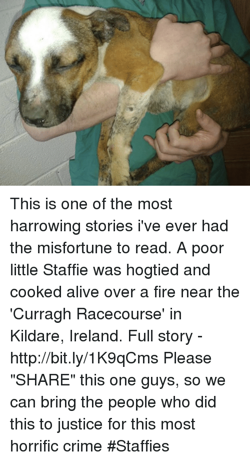 """Misfortunately: 9, This is one of the most harrowing stories i've ever had the misfortune to read.  A poor little Staffie was hogtied and cooked alive over a fire near the 'Curragh Racecourse' in Kildare, Ireland. Full story - http://bit.ly/1K9qCms  Please """"SHARE"""" this one guys, so we can bring the people who did this to justice for this most horrific crime #Staffies"""