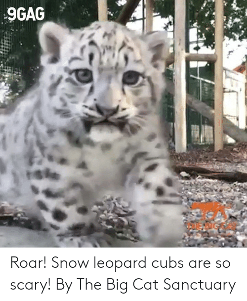 Cubs: 9GAG  rshe Roar! Snow leopard cubs are so scary!  By The Big Cat Sanctuary