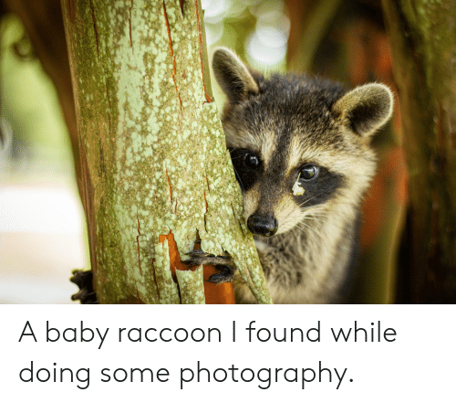 Photography, Raccoon, and Baby: A baby raccoon I found while doing some photography.