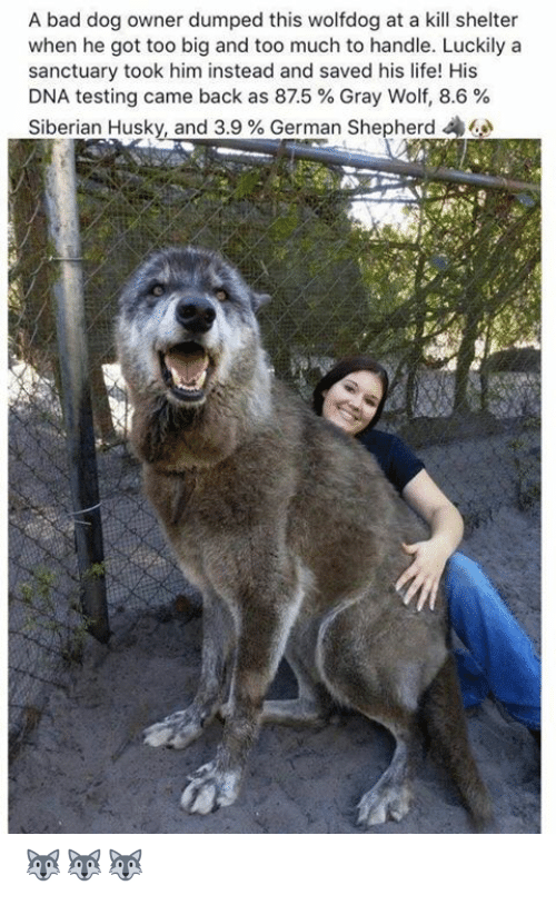German Shepherd: A bad dog owner dumped this wolfdog at a kill shelter  when he got too big and too much to handle. Luckily a  sanctuary took him instead and saved his life! His  DNA testing came back as 875 % Gray Wolf, 8.6 %  Siberian Husky, and 3.9 % German Shepherd 44 🐺🐺🐺