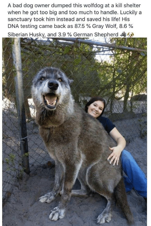 Bad, Life, and Too Much: A bad dog owner dumped this wolfdog at a kill shelter  when he got too big and too much to handle. Luckily a  sanctuary took him instead and saved his life! His  DNA testing came back as 87.5 % Gray Wolf, 8.6 %  Siberian Husky, and 3.9 % German Shepherd