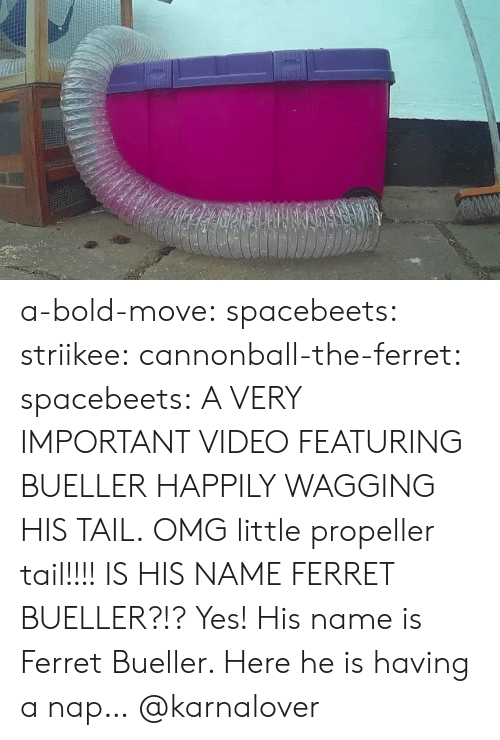 Bold: a-bold-move:  spacebeets:  striikee:   cannonball-the-ferret:   spacebeets:  A VERY IMPORTANT VIDEO FEATURING BUELLER HAPPILY WAGGING HIS TAIL.  OMG little propeller tail!!!!   IS HIS NAME FERRET BUELLER?!?   Yes! His name is Ferret  Bueller. Here he is having a nap…  @karnalover