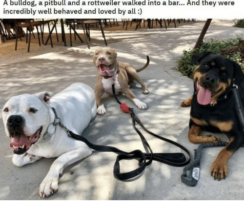 Pitbull, Bulldog, and Rottweiler: A bulldog, a pitbull and a rottweiler walked into a bar... And they were  incredibly well behaved and loved by all)