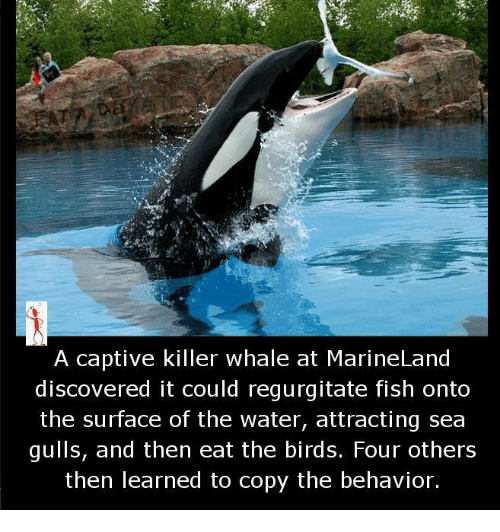 Killer Whales, Memes, and Birds: A captive killer whale at MarineLand  discovered it could regurgitate fish onto  the surface of the water, attracting sea  gulls, and then eat the birds. Four others  then learned to copy the behavior.