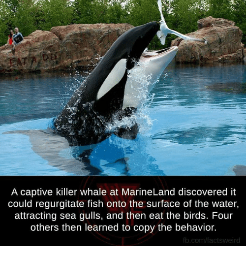 Killer Whales, Memes, and Discover: A captive killer whale at MarineLand discovered it  could regurgitate fish onto the surface of the water,  attracting sea gulls, and then eat the birds. Four  others then learned to copy the behavior.  fb.com/factsweird