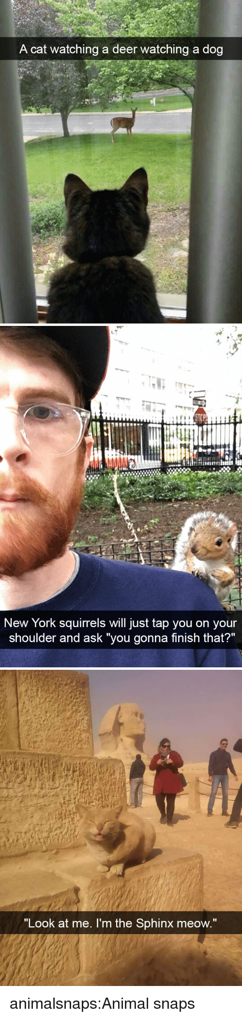 """Deer, New York, and Target: A cat watching a deer watching a dog   STCP  New York squirrels will just tap you on your  shoulder and ask you gonna tinish that?   """"Look at me. I'm the Sphinx meow"""" animalsnaps:Animal snaps"""
