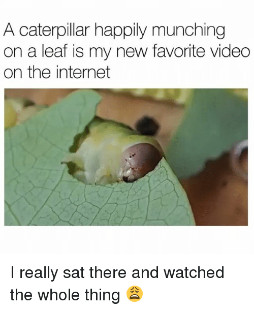 The Internets: A caterpillar happily munching  on a leaf is my new favorite video  on the internet I really sat there and watched the whole thing 😩