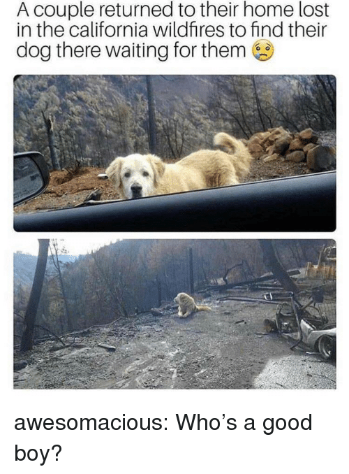 Tumblr, Lost, and Blog: A couple returned to their home lost  in the california wildfires to find their  dog there waiting for them awesomacious:  Who's a good boy?