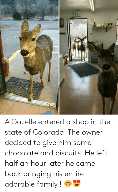 Gazelle: A Gazelle entered a shop in the state of Colorado. The owner decided to give him some chocolate and biscuits. He left  half an hour later he came back bringing his entire adorable family ! 😊😍