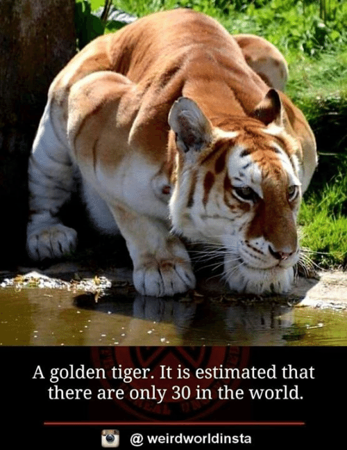 Memes, Tiger, and World: A golden tiger. It is estimated that  there are only 30 in the world  @ weirdworldinsta