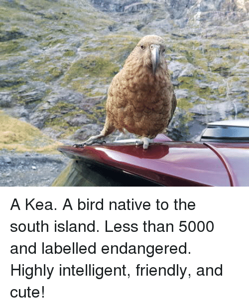 Cute, Island, and South: A Kea. A bird native to the south island. Less than 5000 and labelled endangered. Highly intelligent, friendly, and cute!