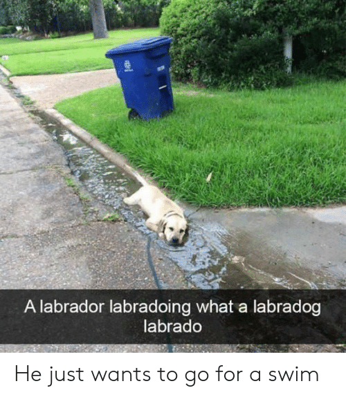 labrador: A labrador labradoing what a labradog  labrado He just wants to go for a swim