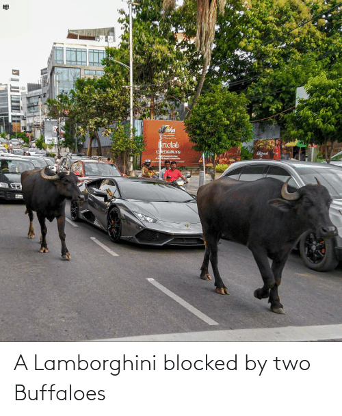 Lamborghini: A Lamborghini blocked by two Buffaloes