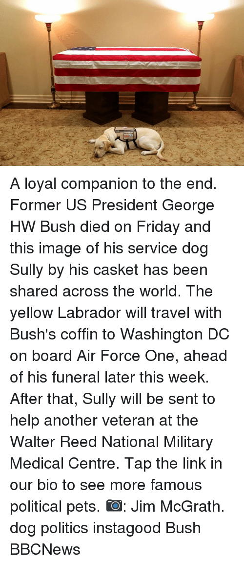 air force one: A loyal companion to the end. Former US President George HW Bush died on Friday and this image of his service dog Sully by his casket has been shared across the world. The yellow Labrador will travel with Bush's coffin to Washington DC on board Air Force One, ahead of his funeral later this week. After that, Sully will be sent to help another veteran at the Walter Reed National Military Medical Centre. Tap the link in our bio to see more famous political pets. 📷: Jim McGrath. dog politics instagood Bush BBCNews
