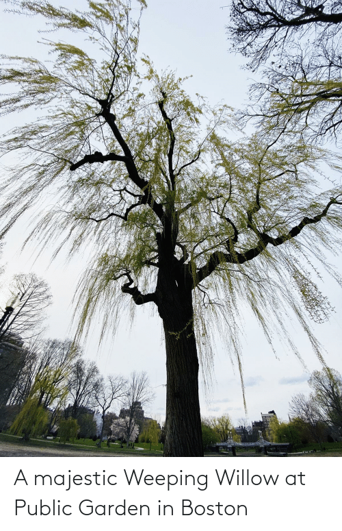 willow: A majestic Weeping Willow at Public Garden in Boston