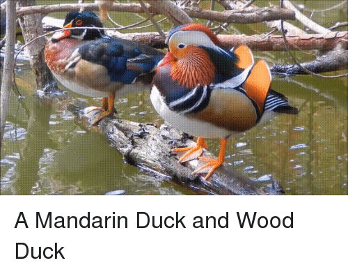 mandarin: A Mandarin Duck and Wood Duck