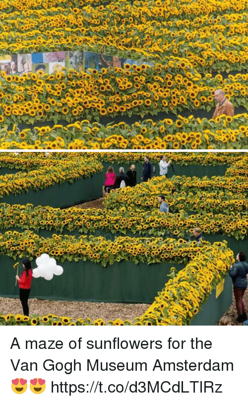 Amsterdam, Girl Memes, and Van Gogh: A maze of sunflowers for the Van Gogh Museum Amsterdam 😍😍 https://t.co/d3MCdLTlRz