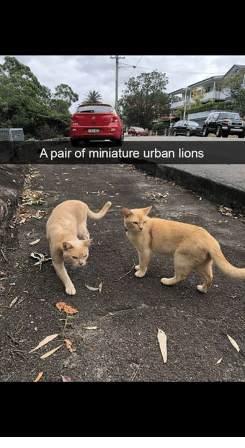 Memes, Lions, and Urban: A pair of miniature urban lions