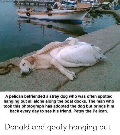 Being Alone, SpongeBob, and Back: A pelican befriended a stray dog who was often spotted  hanging out all alone along the boat docks. The man who  took this photograph has adopted the dog but brings him  back every day to see his friend, Petey the Pelican. Donald and goofy hanging out
