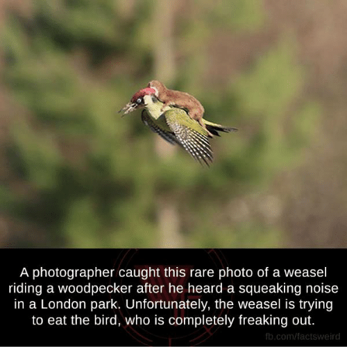 weasels: A photographer caught this rare photo of a weasel  riding a woodpecker after he heard a squeaking noise  in a London park. Unfortunately, the weasel is trying  to eat the bird, who is completely freaking out.  fb.com/facts Weird